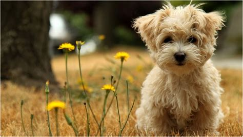 lifespan of havanese dogs havanese puppies breed facts pictures price temperament animals adda