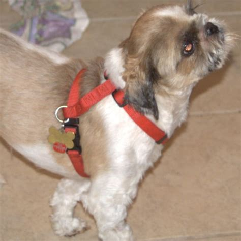small dogs like shih tzu harness great for small dogs like shih tzu 171 akiva the