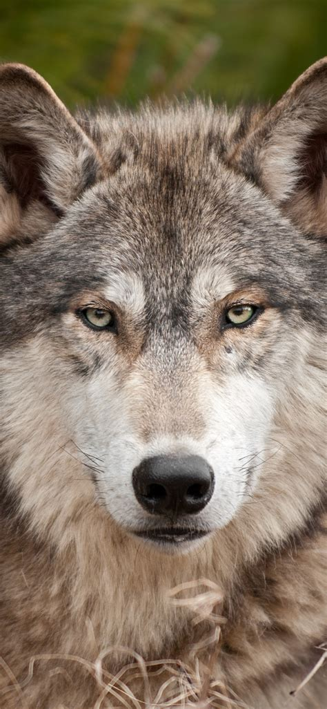 wallpaper wolf front view  wildlife  uhd