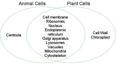 venn diagram plant and animal cells plant cell venn diagram images