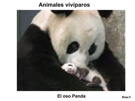 imagenes animales viviparos la chachipedia animales viv 237 paros