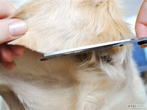 grooming golden retriever ears how to groom a golden retriever 10 easy steps wikihow