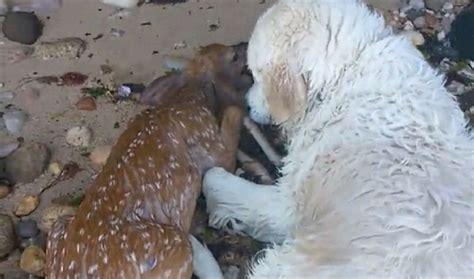 golden retriever saves deer golden retriever saves baby deer from drowning 107 5 kool fm
