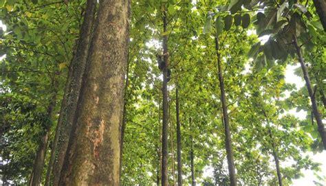 Stool Bulu Kayu Jati Hitam ulat jati rp 80 ribu per kilogram untuk apa nasional