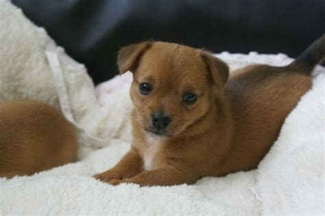 pet dogs and puppies for sale in walsall west midlands adverts chihuahua cross miniature jack russell puppies walsall