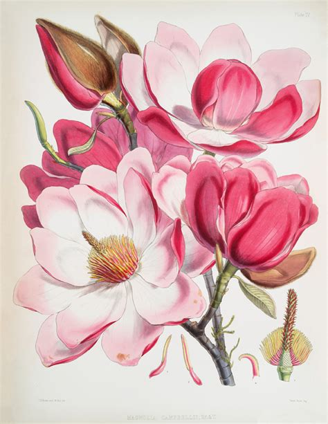printable magnolia flowers stunning pink magnolias printable instant art the