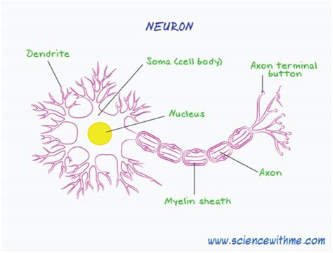 Neuron Worksheet by Learn About The Human Nervous System