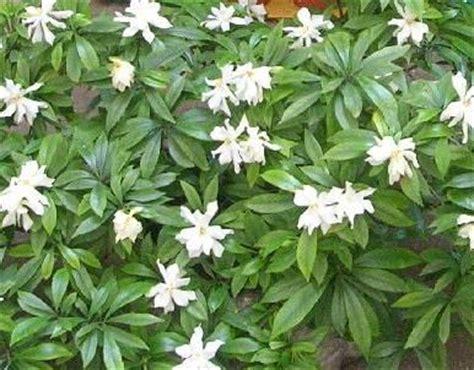 Gardenia Kimura Gardenias On