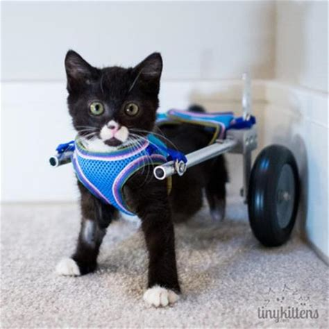 wheelchair for back legs tiny kitten who lost his back legs
