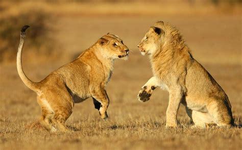 imagenes full hd de leones una pareja de leones hd 1280x796 imagenes wallpapers
