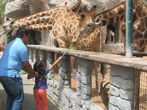 emirates zoo dubai feeding the giraffe picture of emirates park zoo abu