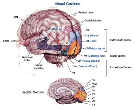 visual cortex diagram visual cortex striate cortex