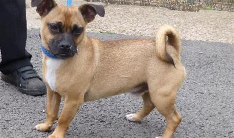 pugs crossed with russells reggie 2 3 year terrier cross pug for adoption