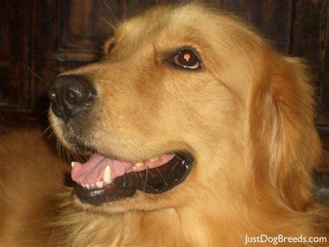 golden retriever large breed romeo golden retriever breeds