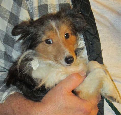 sheepdog puppies for adoption miniature sheltie puppies for adoption breeds picture