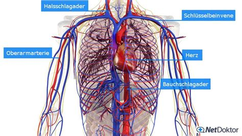 wo liegen die organe beim menschen schock ursachen und m 246 gliche erkrankungen netdoktor de