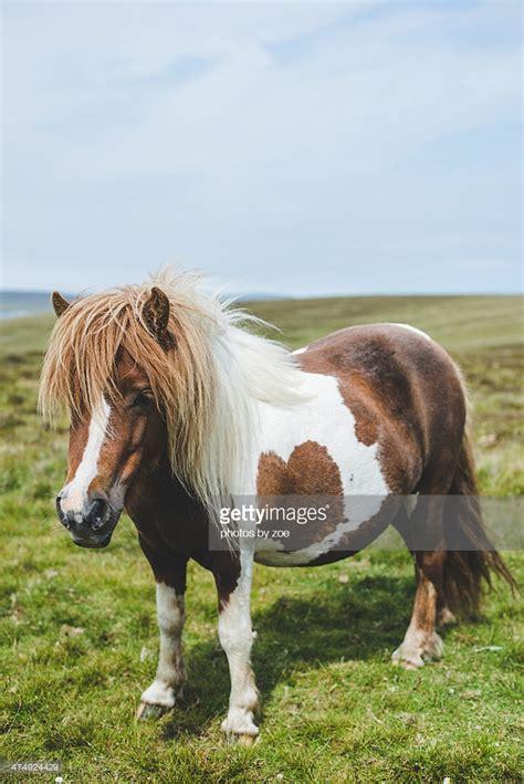 shetland pony stock photos images royalty free shetland authentic shetland pony stock photo getty images
