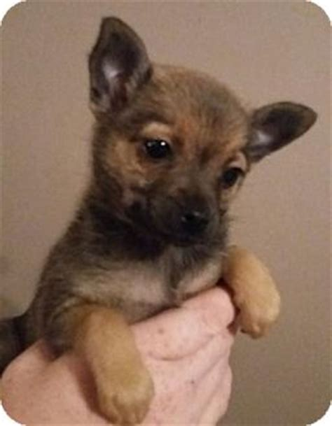 pinscher pomeranian mix rosie adopted puppy southington ct pomeranian miniature pinscher mix