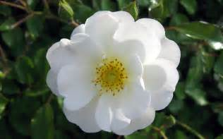 White Flower Images by White Rose Flower Sammer Kale Viralnetworks Com