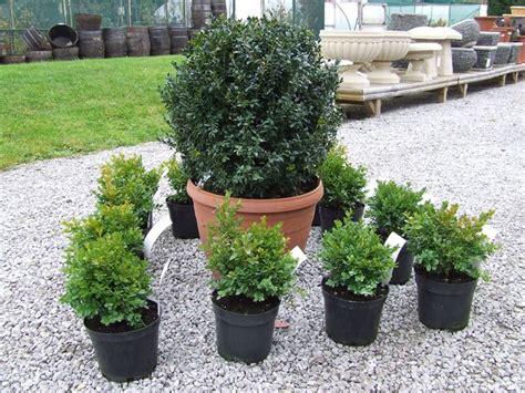 piante vaso piante da vaso sempreverdi piante da terrazzo piante