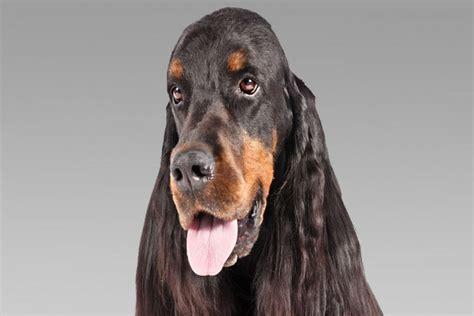 gordon setter dog club gordon setter dog breed information american kennel club