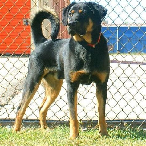 coonhound rottweiler mix images for gt black and coonhound rottweiler mix
