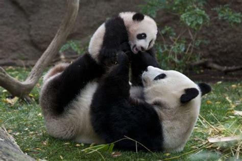 imagenes de osos navideños imagenes de osos pandas fotografias oso panda fotos