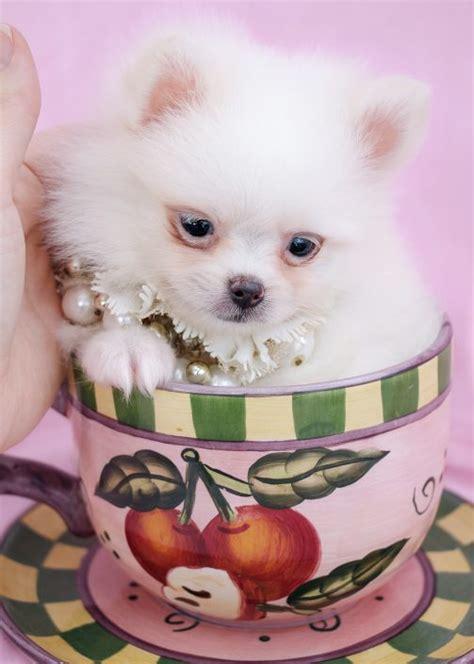 tiny pomeranian for sale tiny teacup pomeranians and pomeranian puppies for sale by teacups teacups puppies