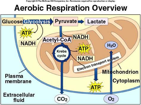 cell energy photosynthesis and respiration section 6 1 answers 65 best images about cellular respiration on pinterest