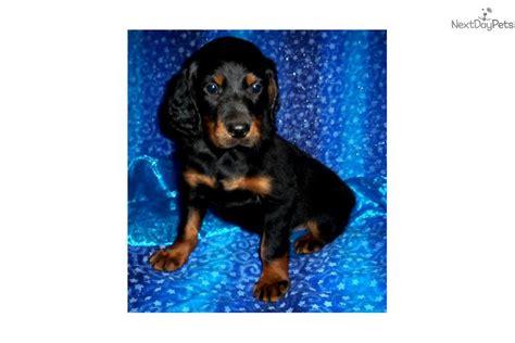 gordon setter dog names meet male a cute gordon setter puppy for sale for 700