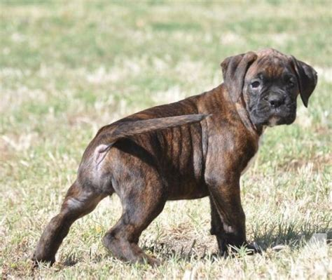 boxer puppies california akc all boxer puppies brindle russian lines for sale in
