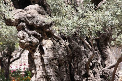 garten gethsemane ltd jerusalem s olive trees from biblical era oldest on earth