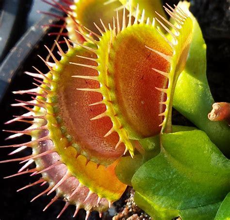 Fleischfressende Pflanzen Kaufen by Fleischfressende Pflanze Kaufen Fleischfressende Pflanze