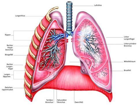 Beschriftung Lunge by Atemwege Aus Dem Gesundheitslexikon Gesundheit Medizin