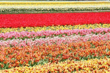 fiori dall olanda scale colorate foto stock 169 dobri71 36027781