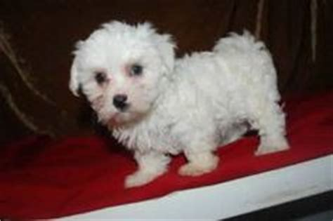 teacup maltese puppies for sale in michigan boston terrier puppies for sale in michigan puppy boston terriers