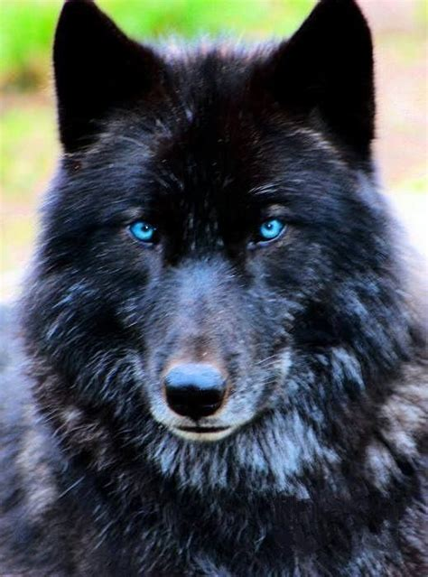 black wolf wolves alpha wolf and red eyes on pinterest