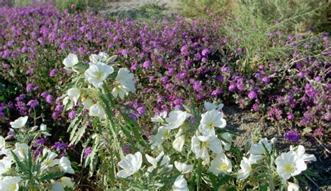 see bloom of wildflowers carpet anza borrego