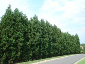 best trees 12 reasons proving leyland cypress trees are best fast