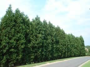 image gallery leyland spruce trees
