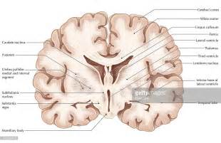 coronal sections of the brain brain coronal section stock illustration getty images