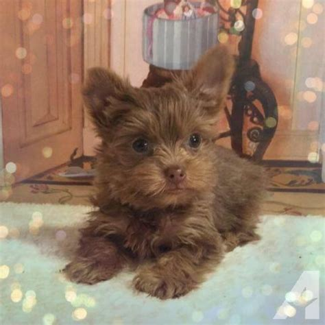 teacup yorkie for sale in south carolina akc tiny teacup yorkie color for sale in alcot south carolina classified