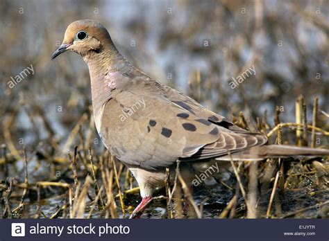 mourning dove c lula sams brownsville texas usa