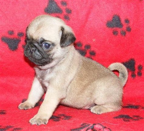 real pugs for sale pug puppies for sale for sale in surat gujarat classified indialisted