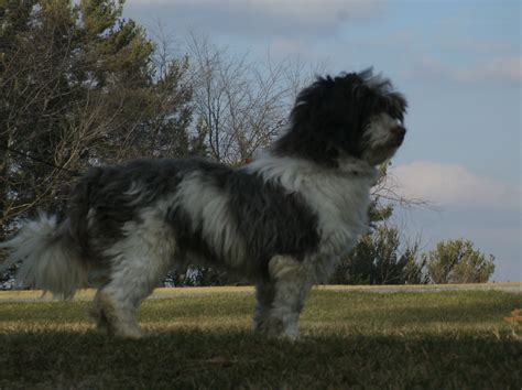 havanese weight range havanese adults country yorkies