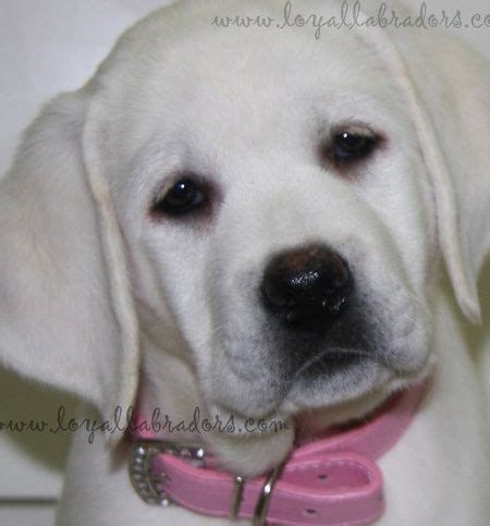 white lab puppies for sale in florida white labrador puppies for sale available lab puppy dogs lab