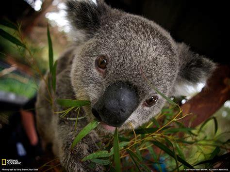wallpaper iphone koala cute koala wallpaper wallpapersafari