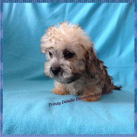 dandie dinmont terrier puppies for sale dandie dinmont terrier puppies for sale ormskirk lancashire pets4homes