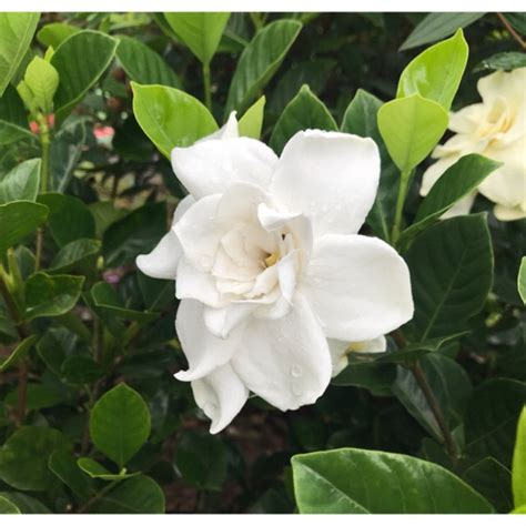 gardenia jasminoides jellis shopee