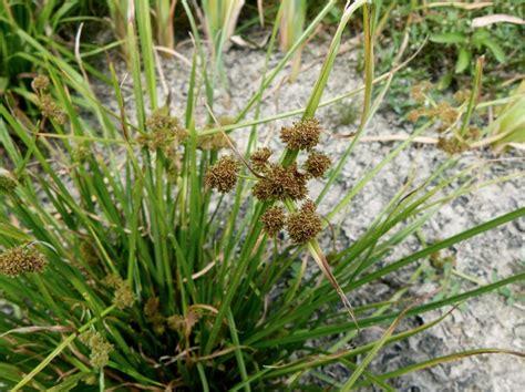 small white flower plant is unbrella like image gallery cyperus difformis